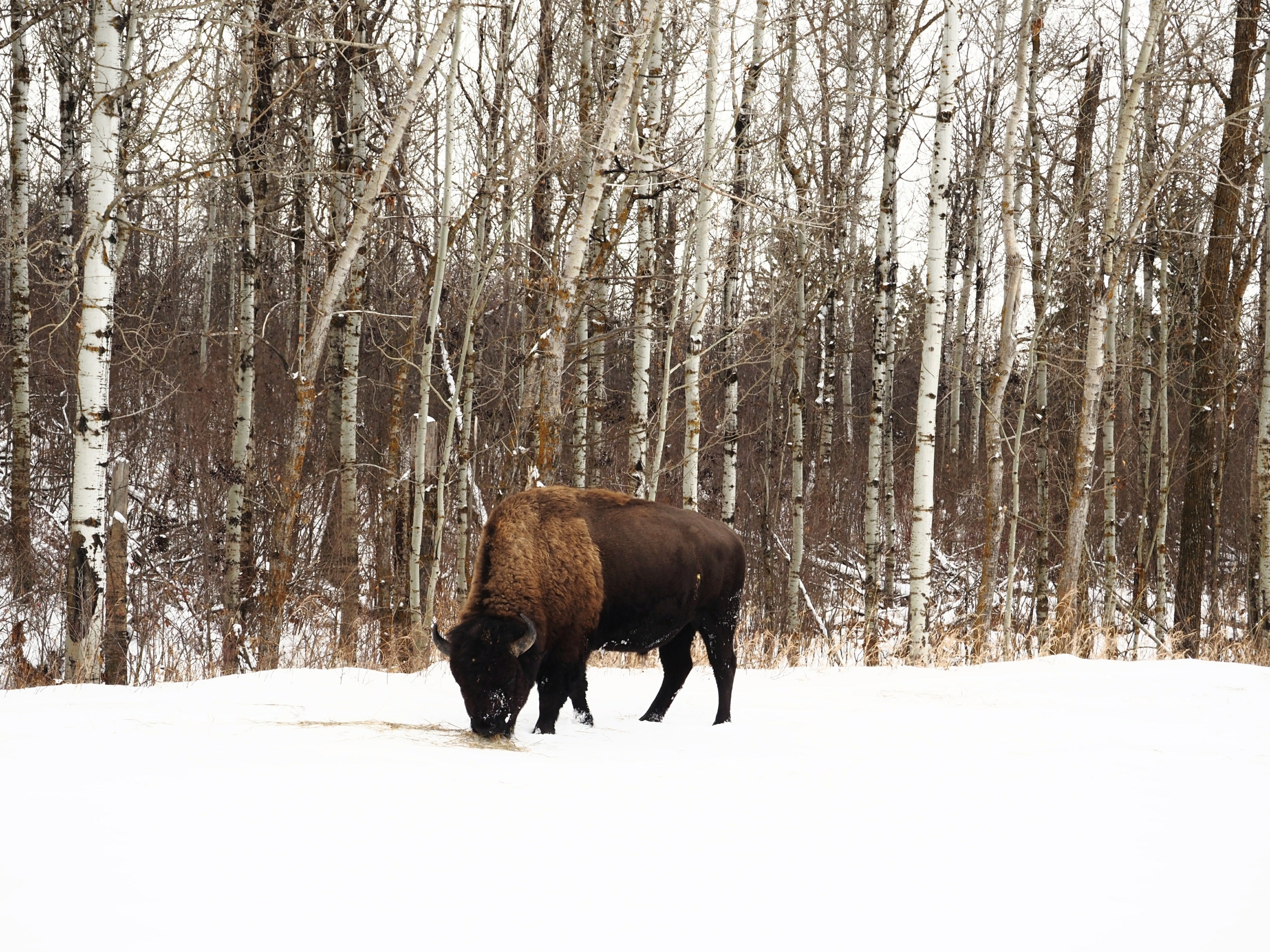 Featured – Alberta Winter Wildlife Adventure
